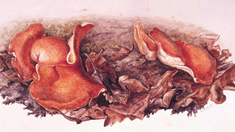 about_orange_fungi_800x450